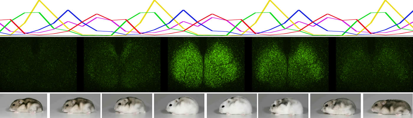 Circadian changes in levels of the clock protein PERIOD2 in the mouse suprachiasmatic nuclei.